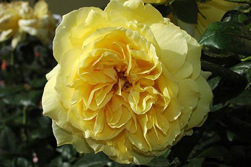 freunde des deutschen rosariums dortmund grf delbard rosen. Black Bedroom Furniture Sets. Home Design Ideas